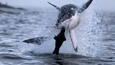 Image for A great white shark in full leaping breach