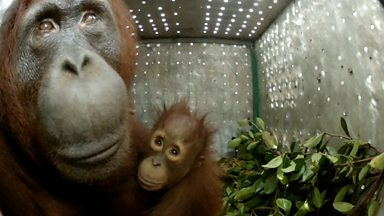 Image for Orangutan Release
