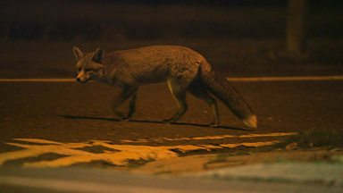 Image for Urban fox diary: Part 1