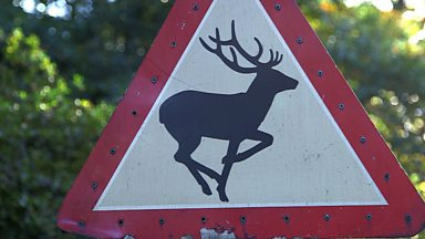 Image for Deer collisions
