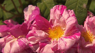 Image for Carol Klein celebrates an ancient rose