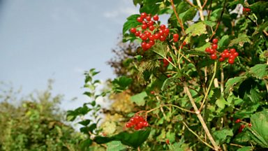 Image for Propagating guelder roses