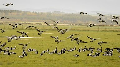 Image for Barnacle Geese of Caerlaverock