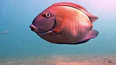 Oval the fish