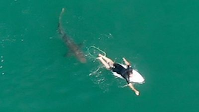 Surfer with shark from above