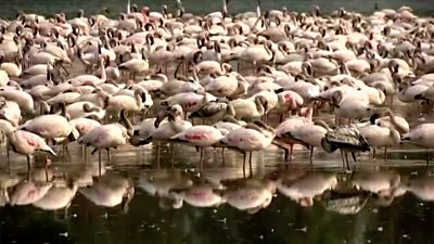 Flamingos in Mumbai creeks