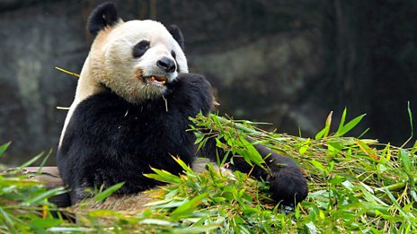 (File photo) A panda eating bamboo at the Chengdu Research Base of Giant Panda Breeding