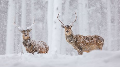 Scottish red deer by Robin Lee
