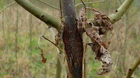 Image for Brett Westwood speaks with naturalist and writer Peter Marren about Ash Dieback