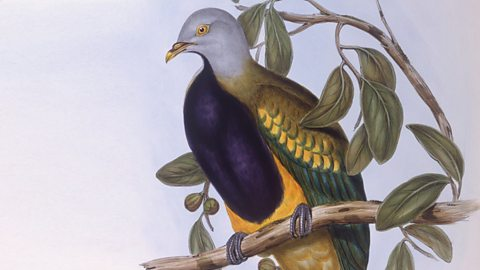 Image for Jared Diamond imitates the fruit doves of Papua New Guinea