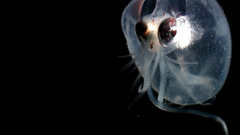 Bbc four nature 39 s microworlds the deep sea for Twilight zone fish
