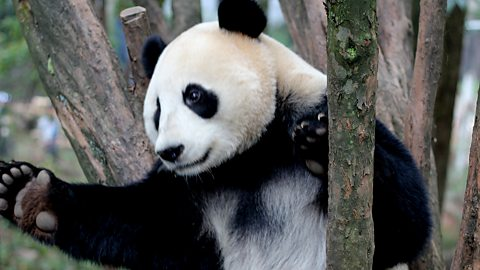 Image for John Beattie: Super Stories...Panda Cams
