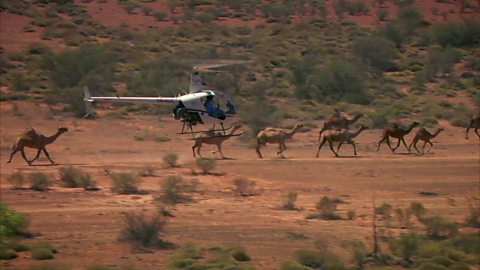 Image for Helicopter camel muster