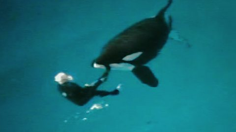 Image for Kasatka the orca whale drags down his trainer