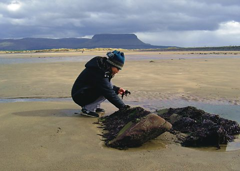 Harvesting Nori in County Sligo