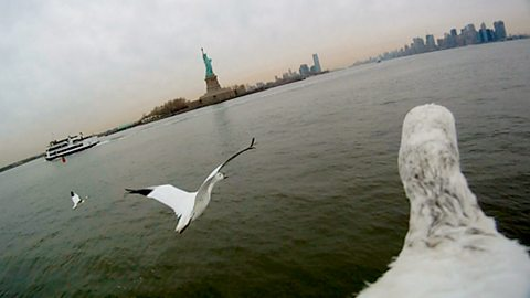 Bird's-eye view of snow geese approaching the Statue of Liberty