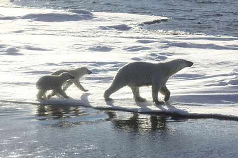 Polar bear mother and her two cubs