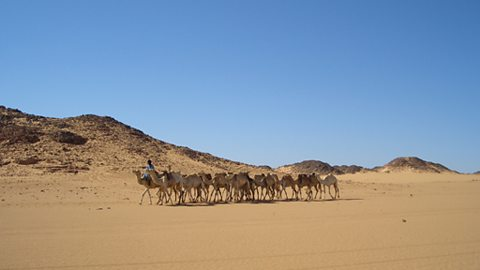 A camel train in the Sahara desert