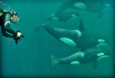 Ingrid Visser swimming with orcas