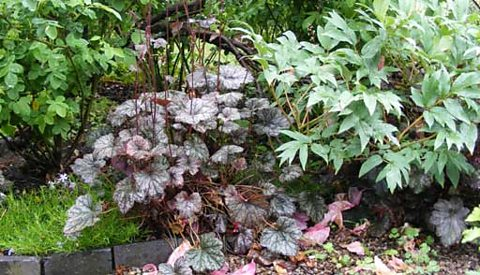 Heuchara and peony foliage in the rain