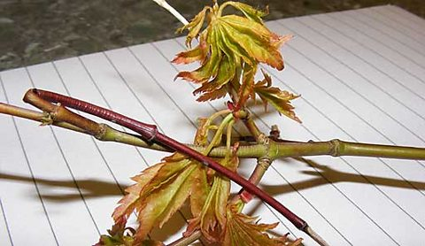 Is this Acer die back, one listener asks...