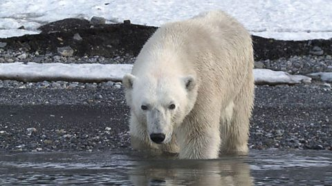 An adult polar bear takes a dip