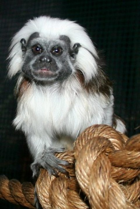 Jack, the psychic Cotton-top Tamarin