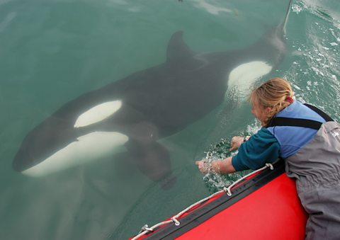 Ingrid Visser playing with an orca