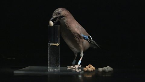 Romero the Eurasian Jay