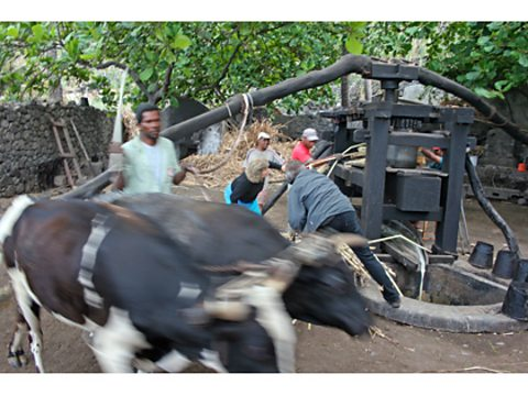 Bulls operating an ancient sugar press in Cape Verde