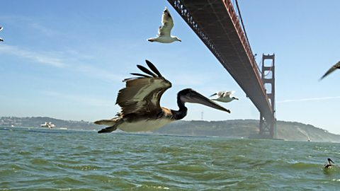 Pelican in flight over San Francisco