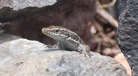 Lizards may enjoy the future British climate