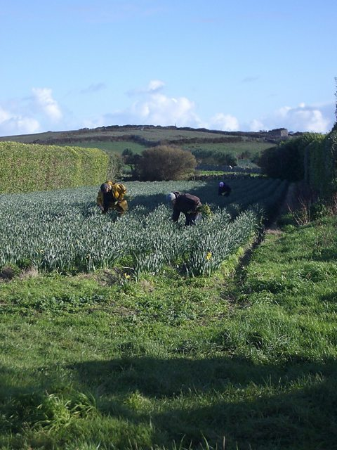Keith Lowe and colleagues picking scented narcissi on St Martin's