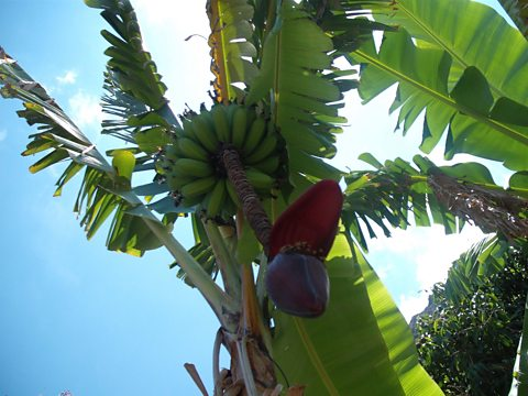 Could bananas soon grow in the UK?