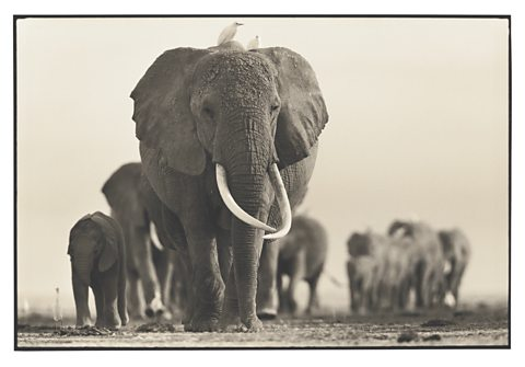 Echo in her prime leading her family across the Amboseli plains.