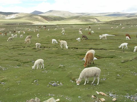 A healthy Peruvian wetland with grazing alpaca