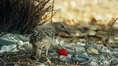 A male Australian bowerbird collects a variety of man-made objects to decorate his bower.