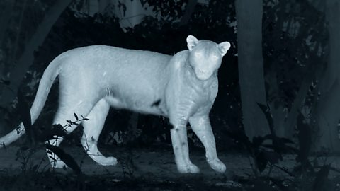 A night vision camera reveals a leopard hunting pigs in the dead of night.