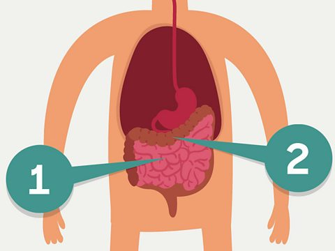 Bbc Bitesize What Happens In Your Intestines
