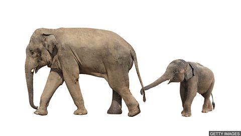 Baby elephant zoo trade banned 野生幼象禁止被卖给动物园