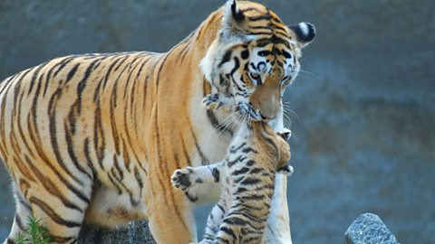 Tiger mother
