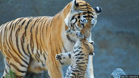 Tiger mother 虎妈