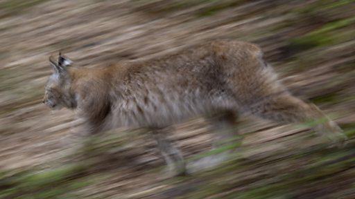 Eurasian lynx blurred motion (Credit Klaus Echle / naturepl.com)