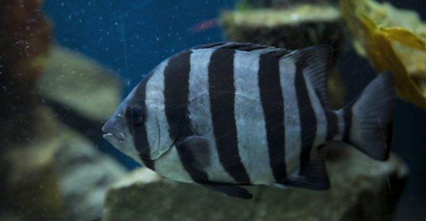 Striped beak fish
