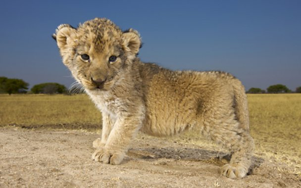 A baby lion (Getty Images)