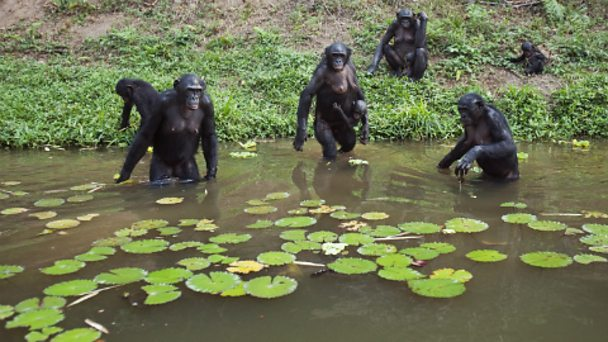 Female bonobos forage at the edge of a lake.