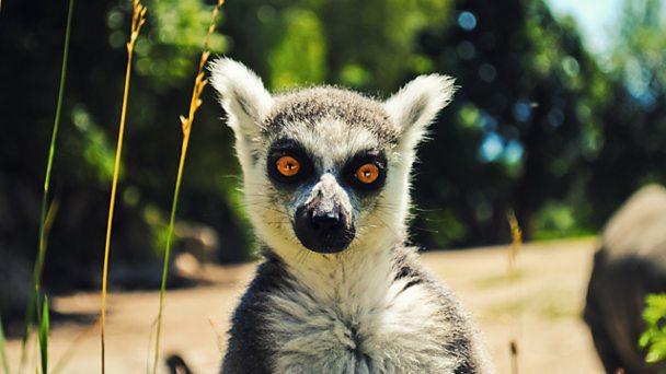 Ring tailed lemure