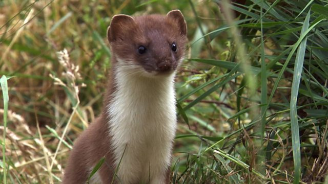 Stoat - Play