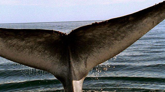 Blue whale breach