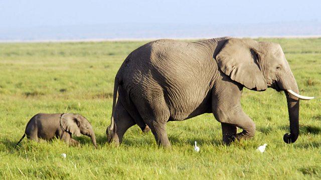 f236d972c BBC Learning English - 6 Minute English   Saving China s elephants
